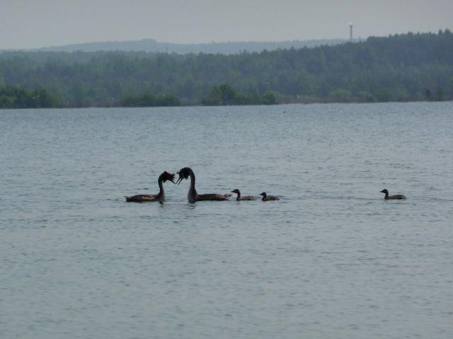 Zdjęcia: gdzieś nad wodą, szczęsliwa rodzina perkozów, POLSKA
