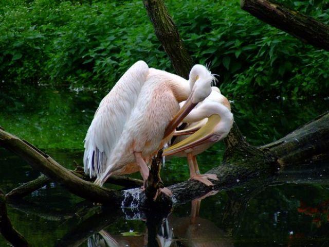Zdjęcia: Opole, Park, pelikany, POLSKA