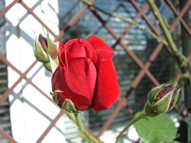 Zdjęcia: mój ogród, warszawa, róża, POLSKA