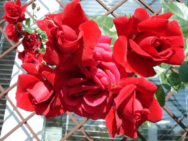 Zdjęcia: warszawa, róże, POLSKA