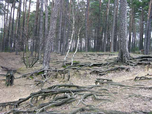 Zdjęcia: Kuźnica Zbąska, Wielkopolska, Las, POLSKA