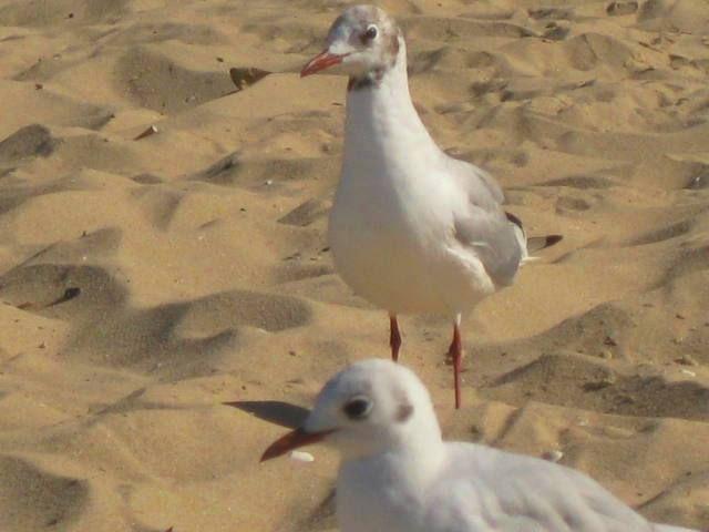 Zdjęcia: Brzeźno-plaża, Gdańsk, mewy, POLSKA