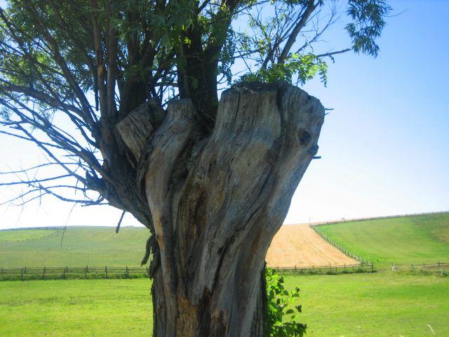 Zdjęcia: Smołdzino, Pomorze, drzewo, POLSKA