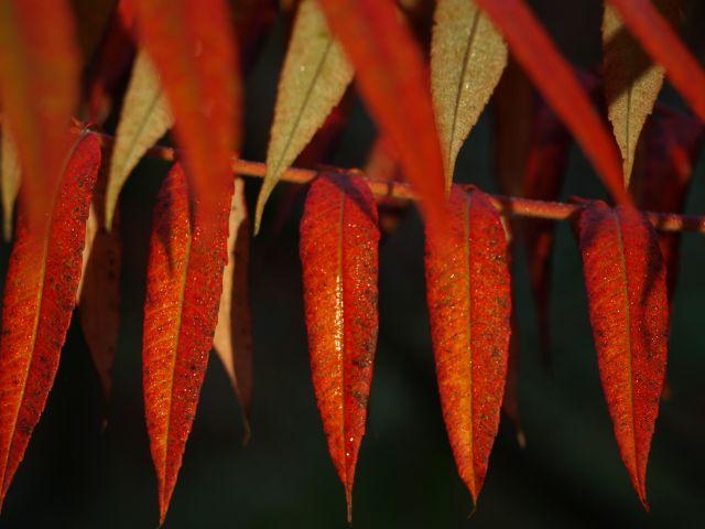 Zdjęcia: MPK, mazowsze, zwykłe liście ale czerwone, POLSKA