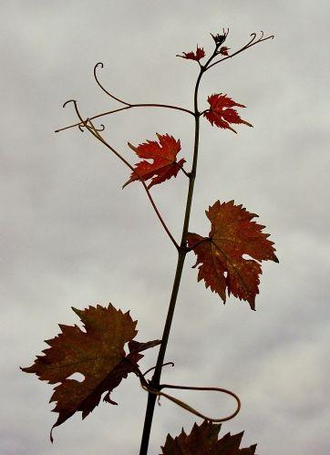 Zdjęcia: winnica w Starej Wsi koło Nowej Soli nad Odrą, Lubuskie, czas winobrania, POLSKA