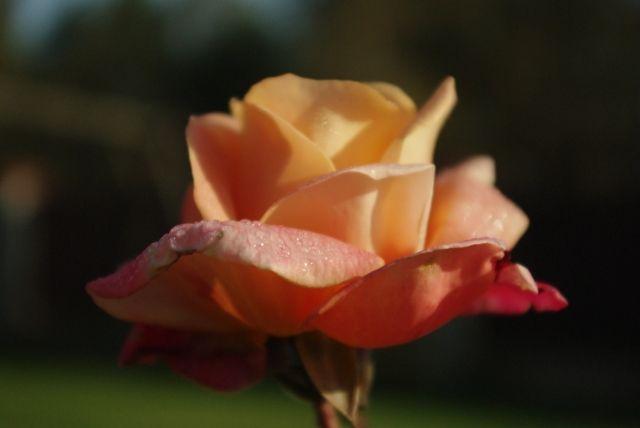 Zdjęcia: Radom, mazowieckie, Róża, POLSKA