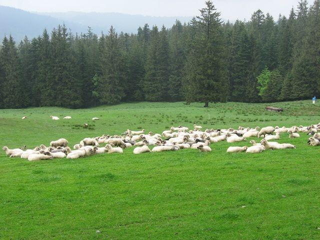 Zdjęcia: Dolina Kościeliska, Tatry, moje wędrówki po Tatrach...kultowy- kontrolowany  wypas owiec, POLSKA