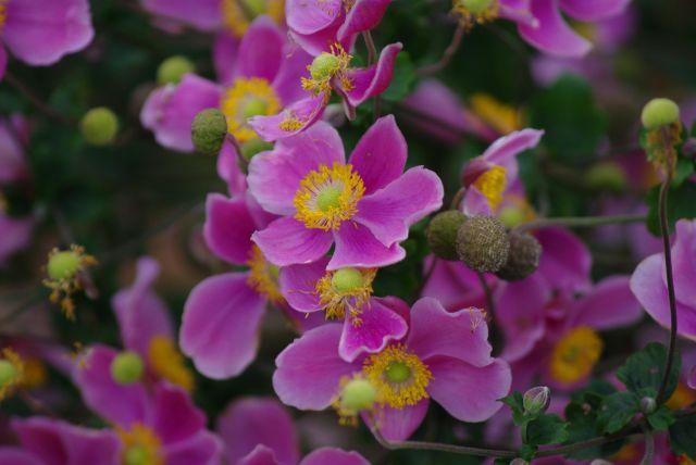 Zdjęcia: park botaniczny Poznan, wielkopolska, barwy jesien anemony, POLSKA