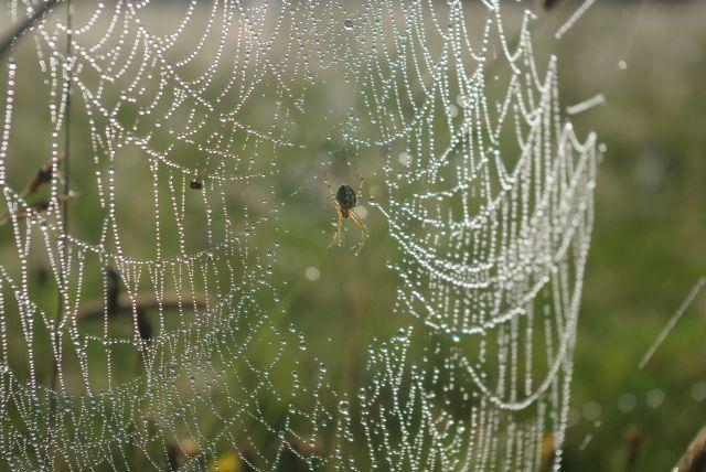 Zdjęcia: Gruszki, Podlasie, pajaczek w rosie, POLSKA