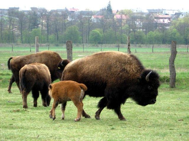 Zdjęcia: Kurozwęki, Góry Swiętokrzyskie -gmina Staszów, bizony w Kurozwękach, POLSKA