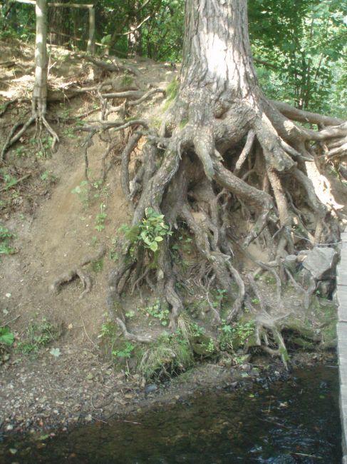 Zdjęcia: Stańczyki, Suwalszczyzna, drzewo, POLSKA