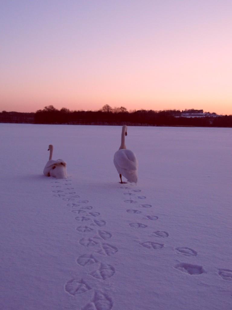 Zdjęcia: Tuchom, Pomorskie, Łabędzie przy zachodzie słońca, POLSKA