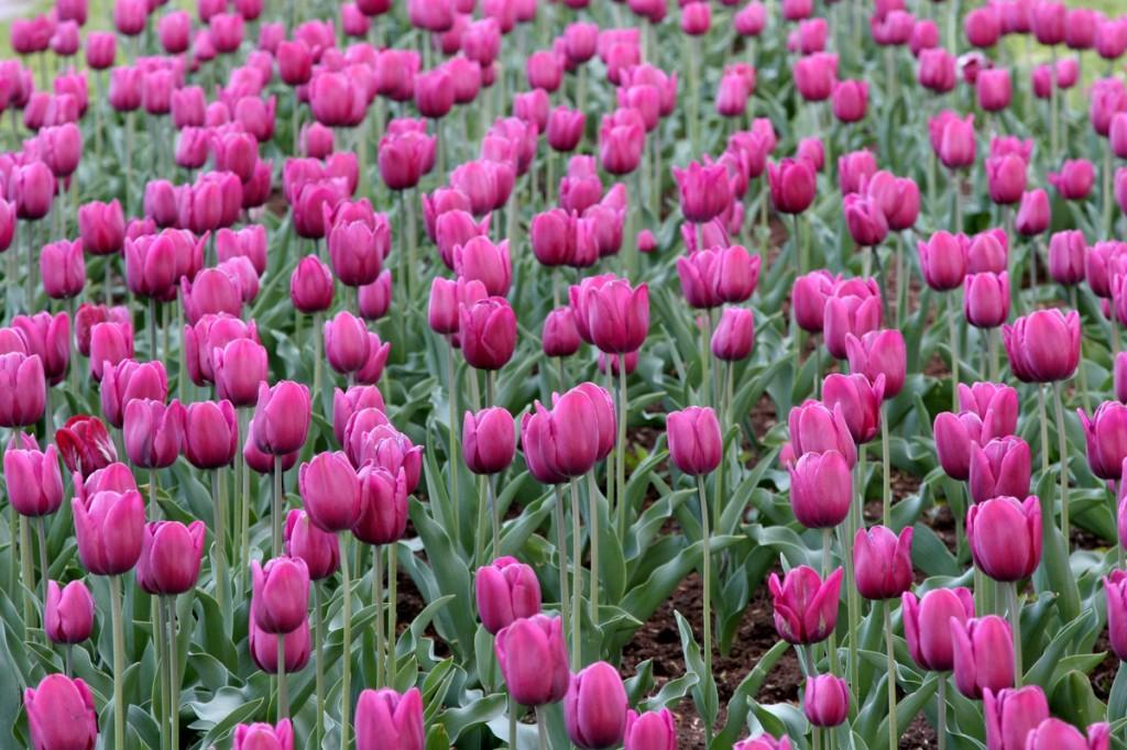 Zdjęcia: Ogródek ;-), Mazowieckie, tulipany, POLSKA