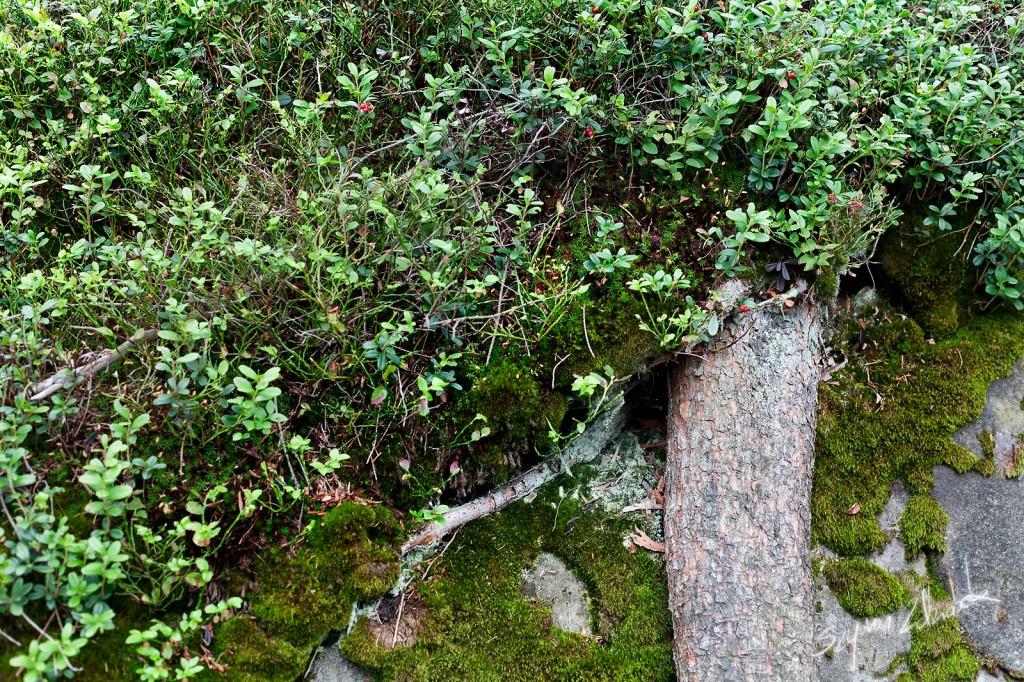 Zdjęcia: Góry Stołowe, Skalne drzewo, POLSKA