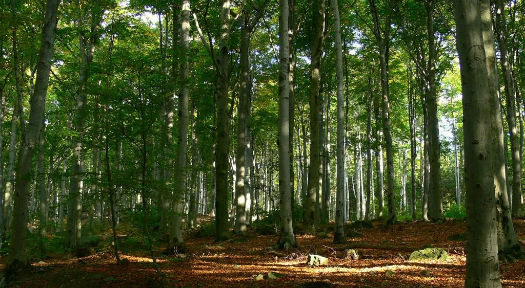 Zdjęcia: Masyw Ślęży, DOLNY ŚLĄSK, las bukowy w masywie ślęży, POLSKA
