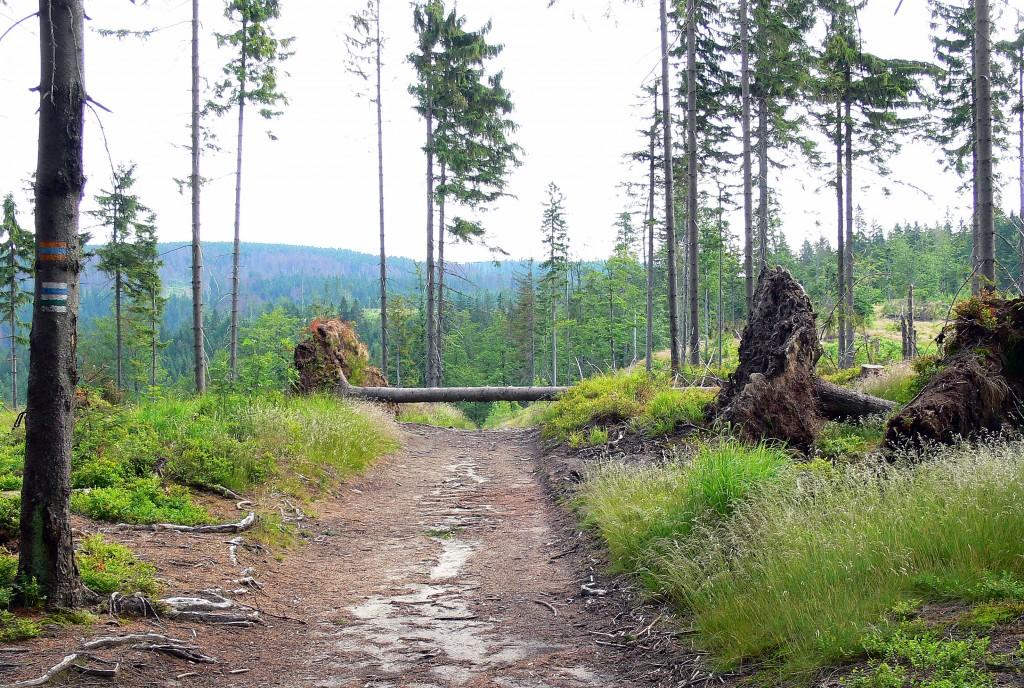Zdjęcia: Rezerwat Barania Góra, Beskid Śląski,   Leśna drogą    na Baranią  Górę, POLSKA