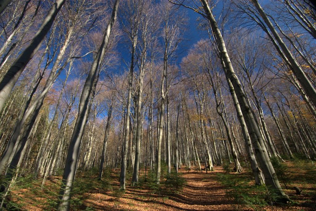 Zdjęcia: zbocza Połoniny Wetlińskiej, Bieszczadzki Park Narodowy, Bieszczadzka buczyna, POLSKA
