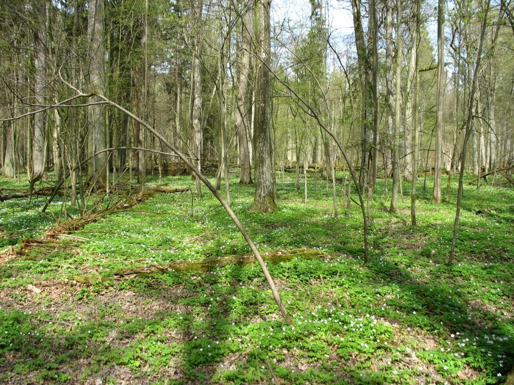 Zdjęcia: Puszcza Białowieska - rezerwat, Podlasie, Przestrzeń puszczy, POLSKA