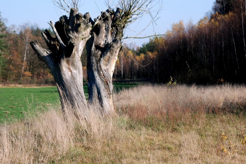 Zdjęcia: okolice Wilgi, Mazowsze, Wierzby, POLSKA