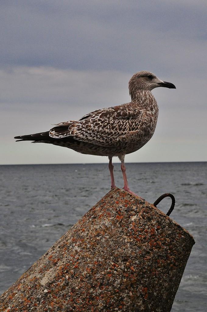 Zdjęcia: Kołobrzeg, Pomorze, (Nie)malowany ptak, POLSKA