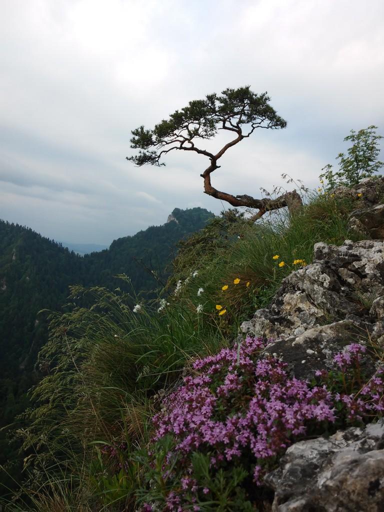 Zdjęcia: pieniny , małopolska, kultowe drzewko na sokolicy, POLSKA
