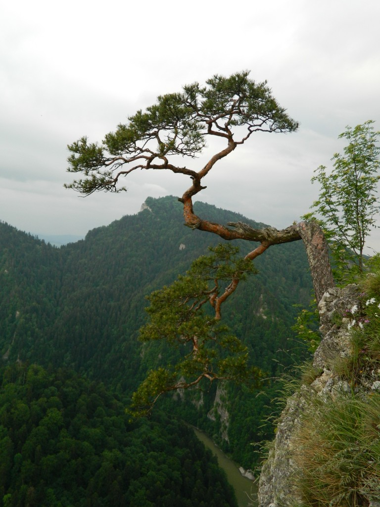 Zdjęcia: pieniny , małopolska, kultowe drzewko na sokolicy..., POLSKA