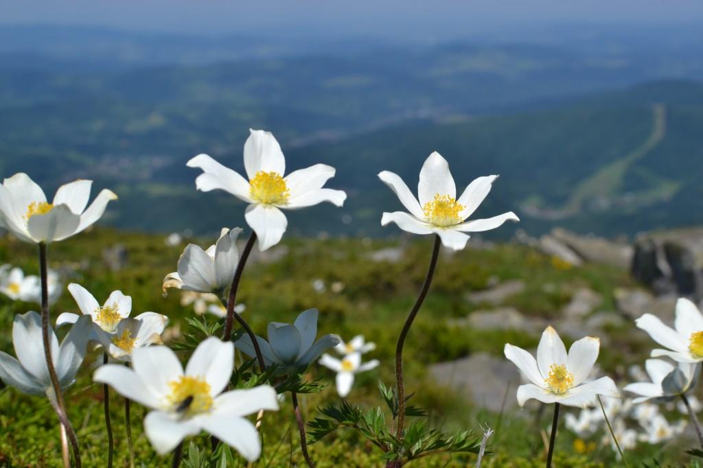 Zdjęcia: Babia Góra, Beskid Żywiecki, Babia w kwiatach, POLSKA