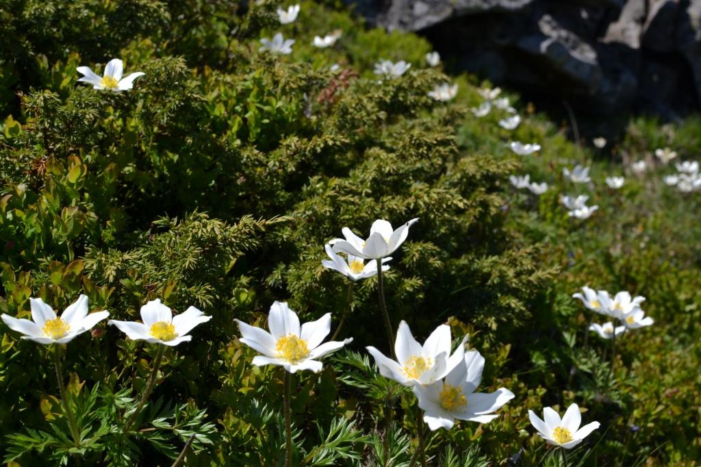 Zdjęcia: Babia Góra, Beskid Żywiecki, Babia w kwiatach II, POLSKA
