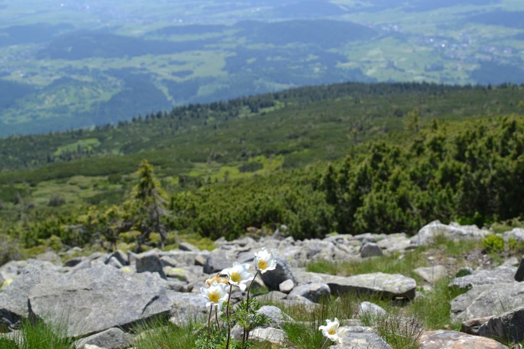 Zdjęcia: Babia Góra, Beskid Żywiecki, Babia w kwiatach III, POLSKA