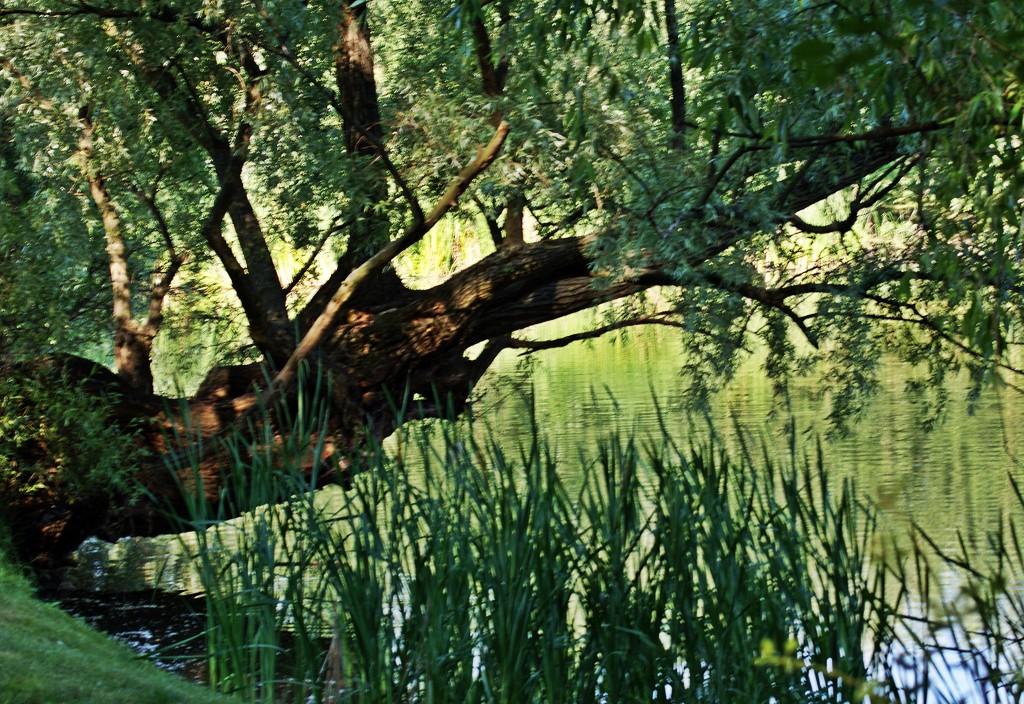 Zdjęcia: Bydgoszcz, Kuj-pom, Drzewo poziomo  nad stawem rosnące, POLSKA