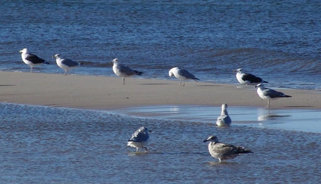 Zdjęcia: Łeba, Pomorskie, Ptaki, POLSKA