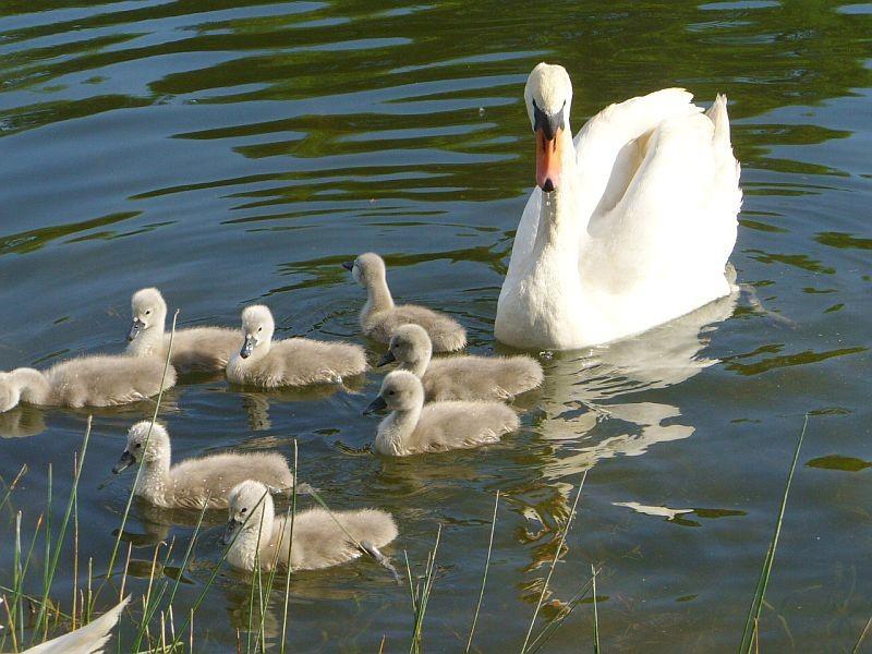 Zdjęcia: Malina, opolskie, Rodzinka łabędzia, POLSKA