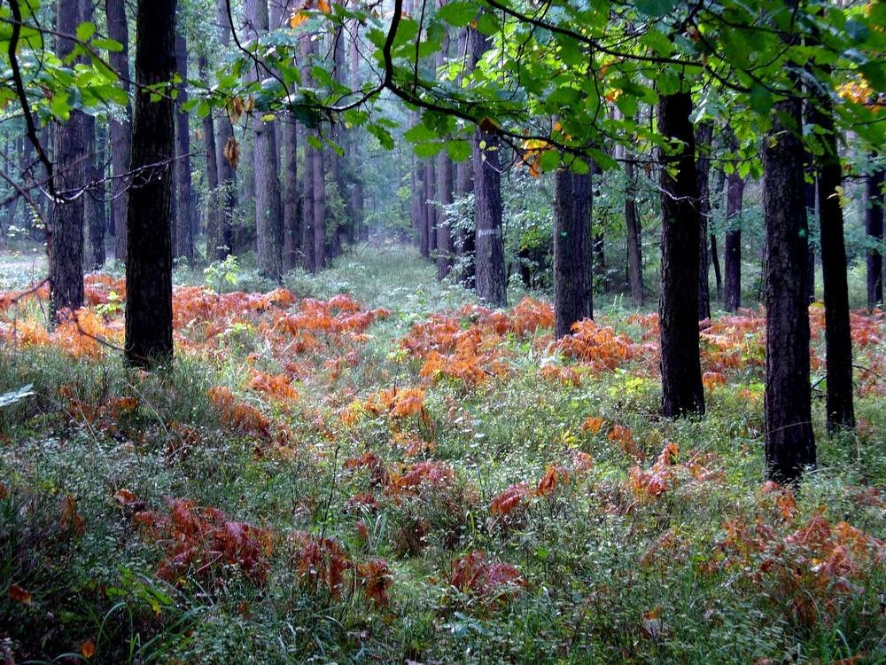 Zdjęcia: Smolarnia, opolskie, Jesienny las, POLSKA
