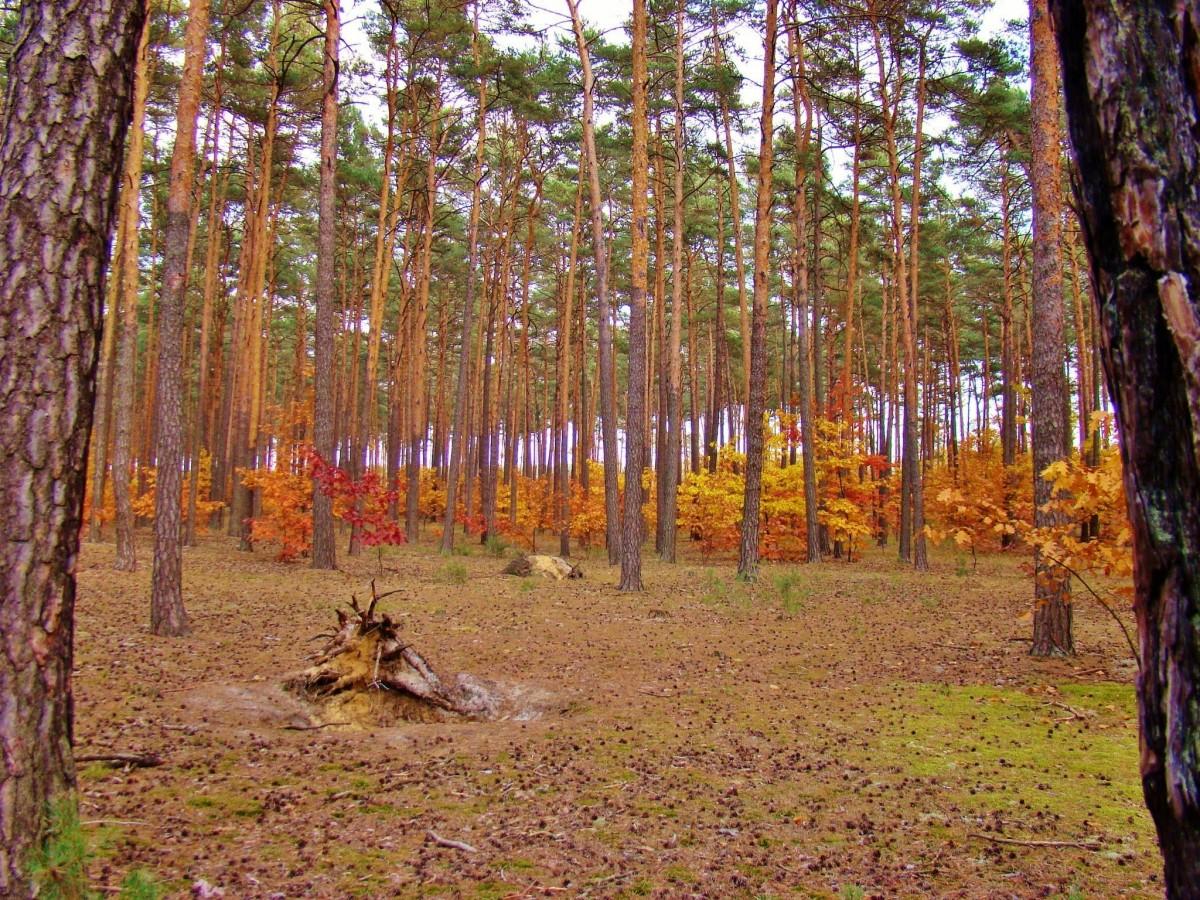 Zdjęcia: Sielpia Wielka, województwo świętokrzyskie, Sielpia Wielka-jesienne barwy lasu, POLSKA