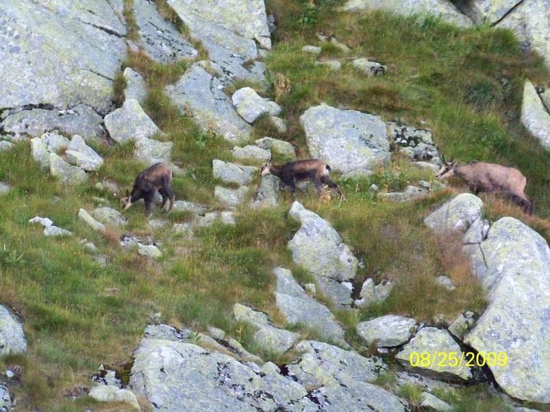 Zdjęcia: Pod Kozim Wierchem - Orla Perć, Kozia rodzina wspina się na swój szczyt, POLSKA