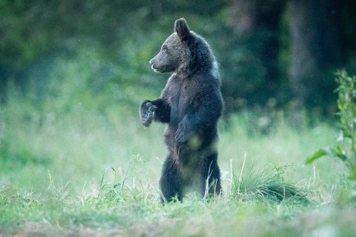 Zdjęcia: Bieszczady, Bieszczady, Niedźwiadek na czatach, POLSKA