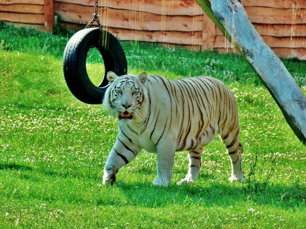 Zdjęcia: Borysew, województwo łódzkie, Biały tygrys, POLSKA