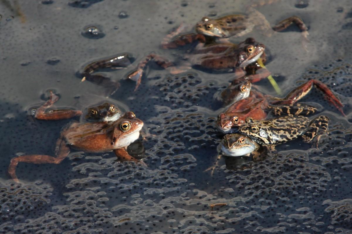 Zdjęcia: Krzykawka, Śląskie, Żabie zaloty, POLSKA
