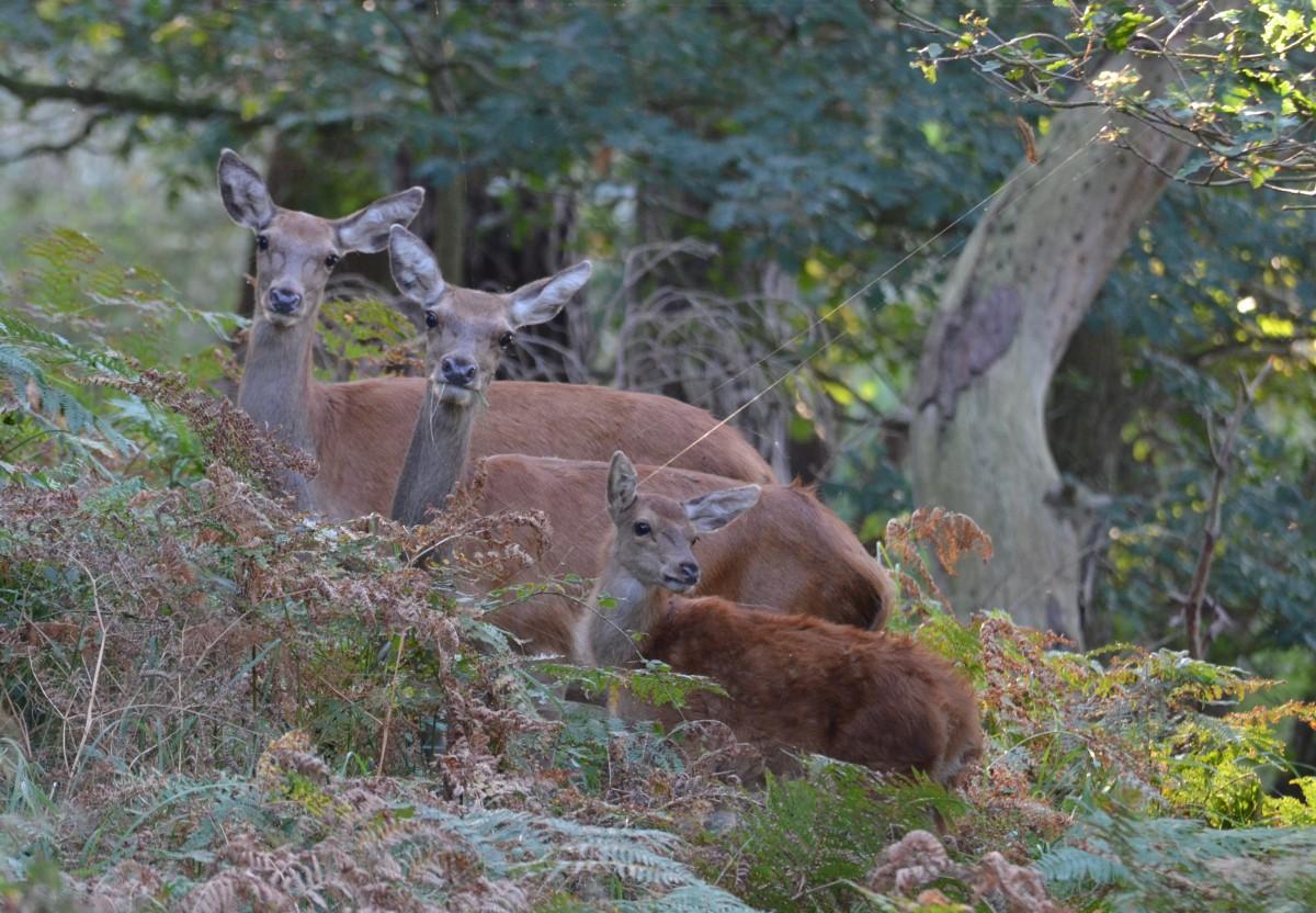 Zdjęcia: Woliński Park Narodowy, Zachodniopomorski, Jelenia rodzina, POLSKA