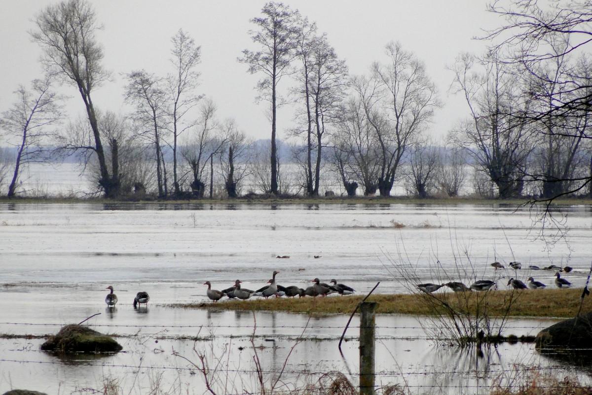 Zdjęcia:   , Podlasie, Dzikie gęsi nad Biebrzą., POLSKA