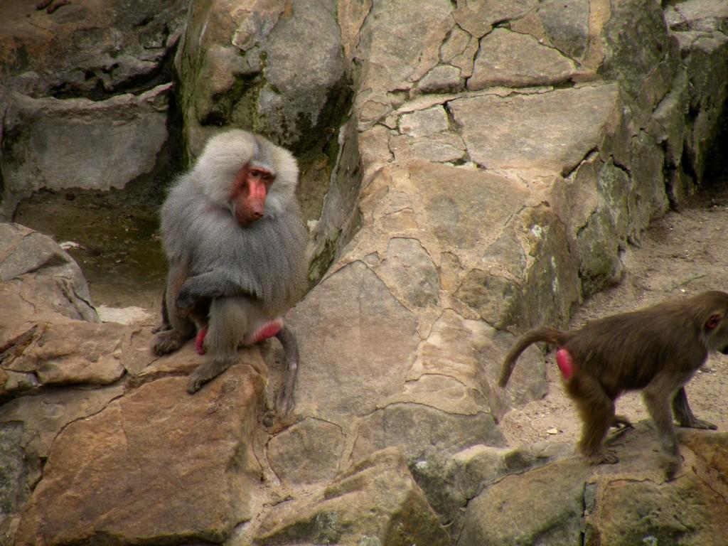 Zdjęcia: Zoo, Berlin, Małpiszony na wybiegu :), POLSKA