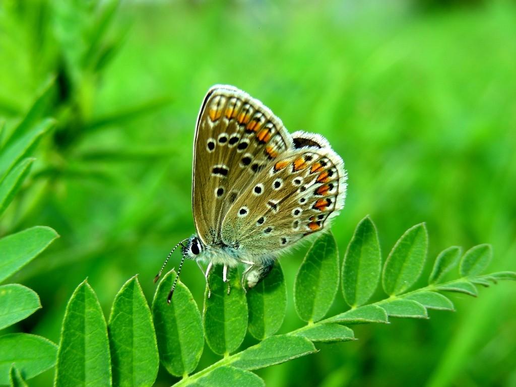 Zdjęcia: Nad Odrą, opolskie, Modraszek samiczka, w zieleni, POLSKA
