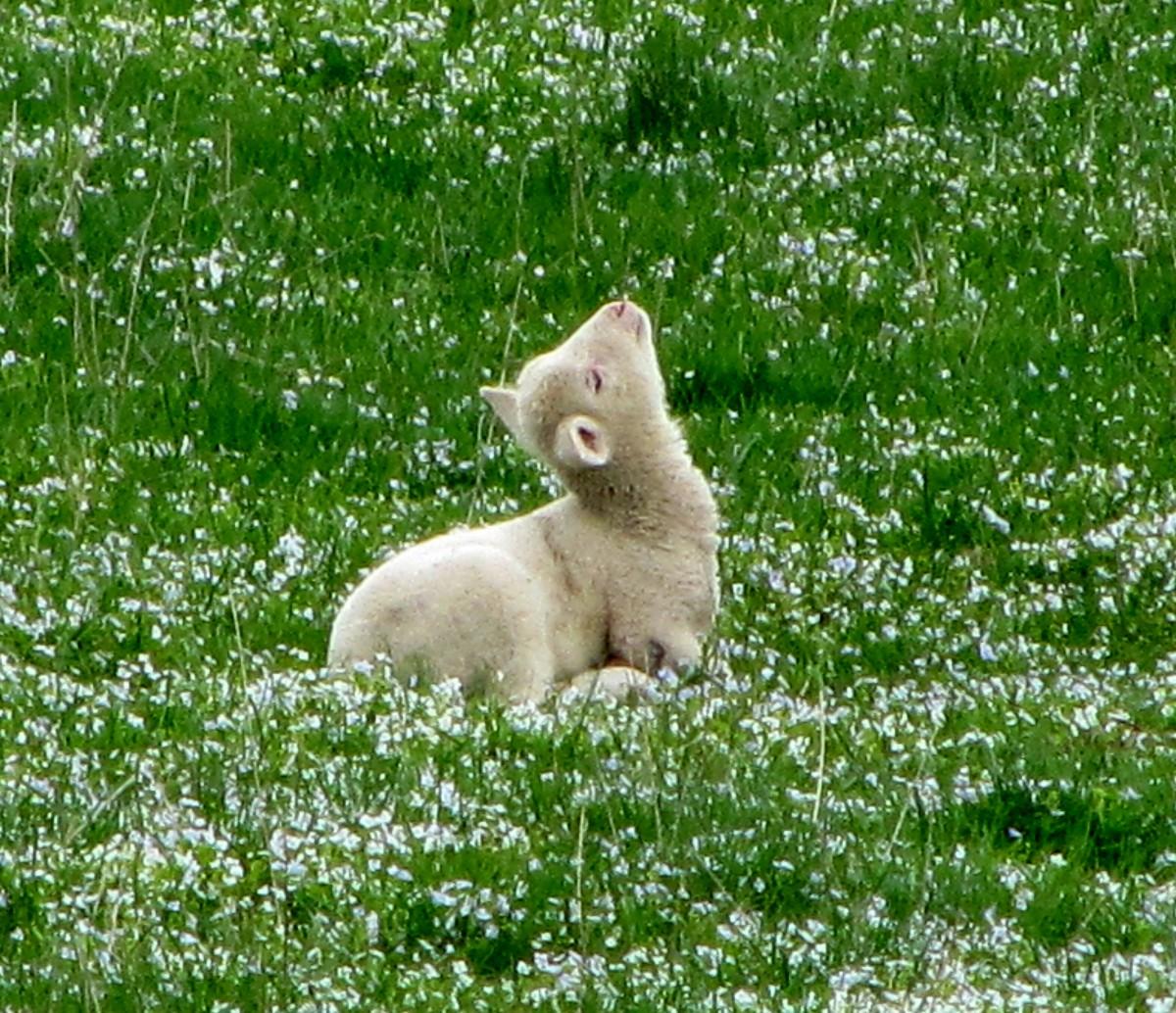 Zdjęcia: gdzieś w Bieszczadach, Bieszczady, Owieczka łapiąca promienie słońca, POLSKA