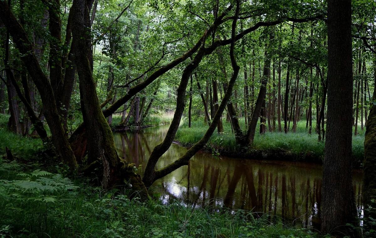 Zdjęcia: Drawieński Park Narodowy, Polska pn-zach, Topielec zieleni, POLSKA