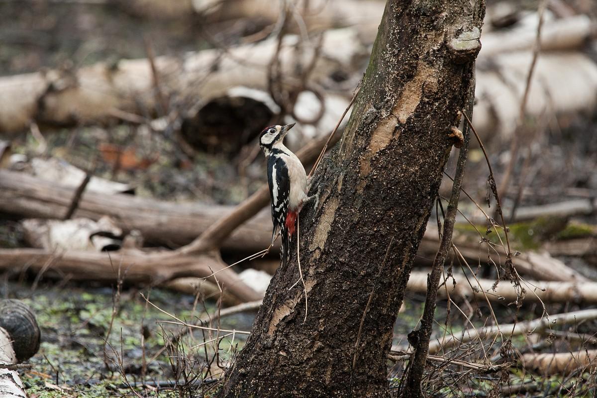 Zdjęcia: Kampinos, mazowieckie, Dzięcioł w drzewo stukał itd..., POLSKA