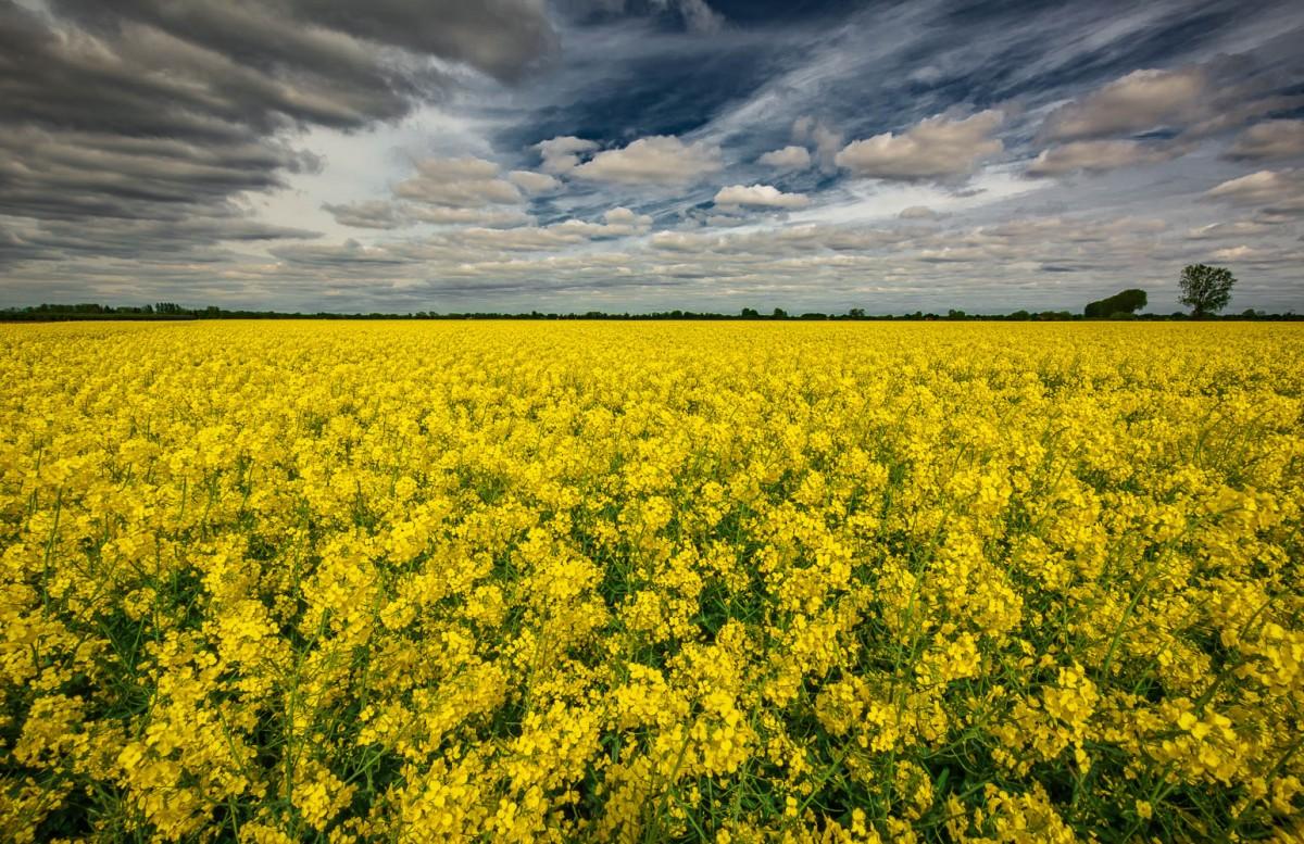 Zdjęcia: ., mazowsze, Rzepakowe pola , POLSKA