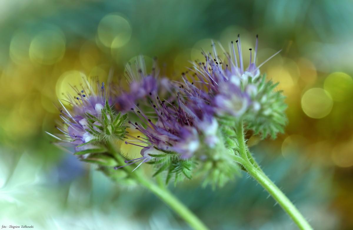 Zdjęcia: Nadnoteckie łęgi, Dolina Noteci, W świecie polnych kwiatów-, POLSKA