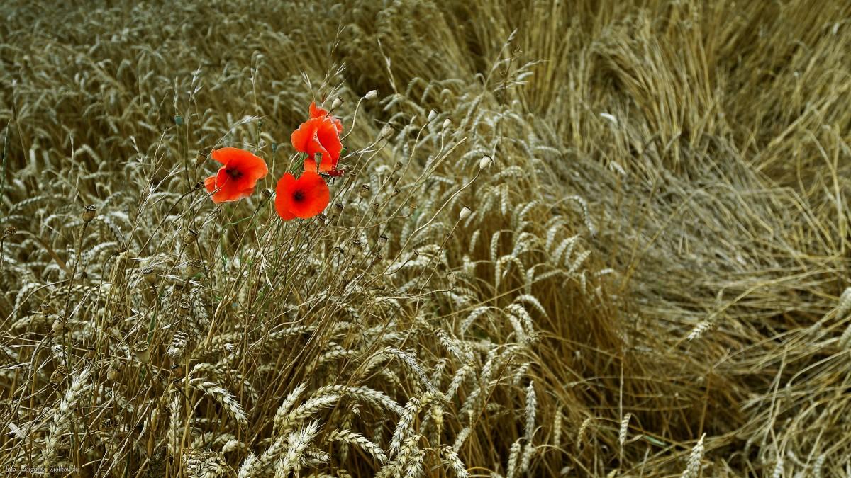 Zdjęcia: Nowe Dąbie, Dolina Noteci, Maki i kłosy pszenicy, POLSKA
