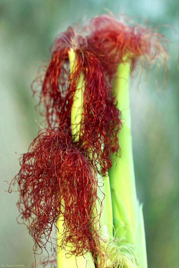 Zdjęcia: Dolina Noteci, Dolina Noteci, W polu kukurydzy., POLSKA