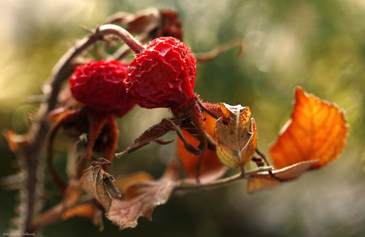Zdjęcia: Dolina Noteci, Dolina Noteci, Ceniona przez zielarzy-Dzika róża, POLSKA